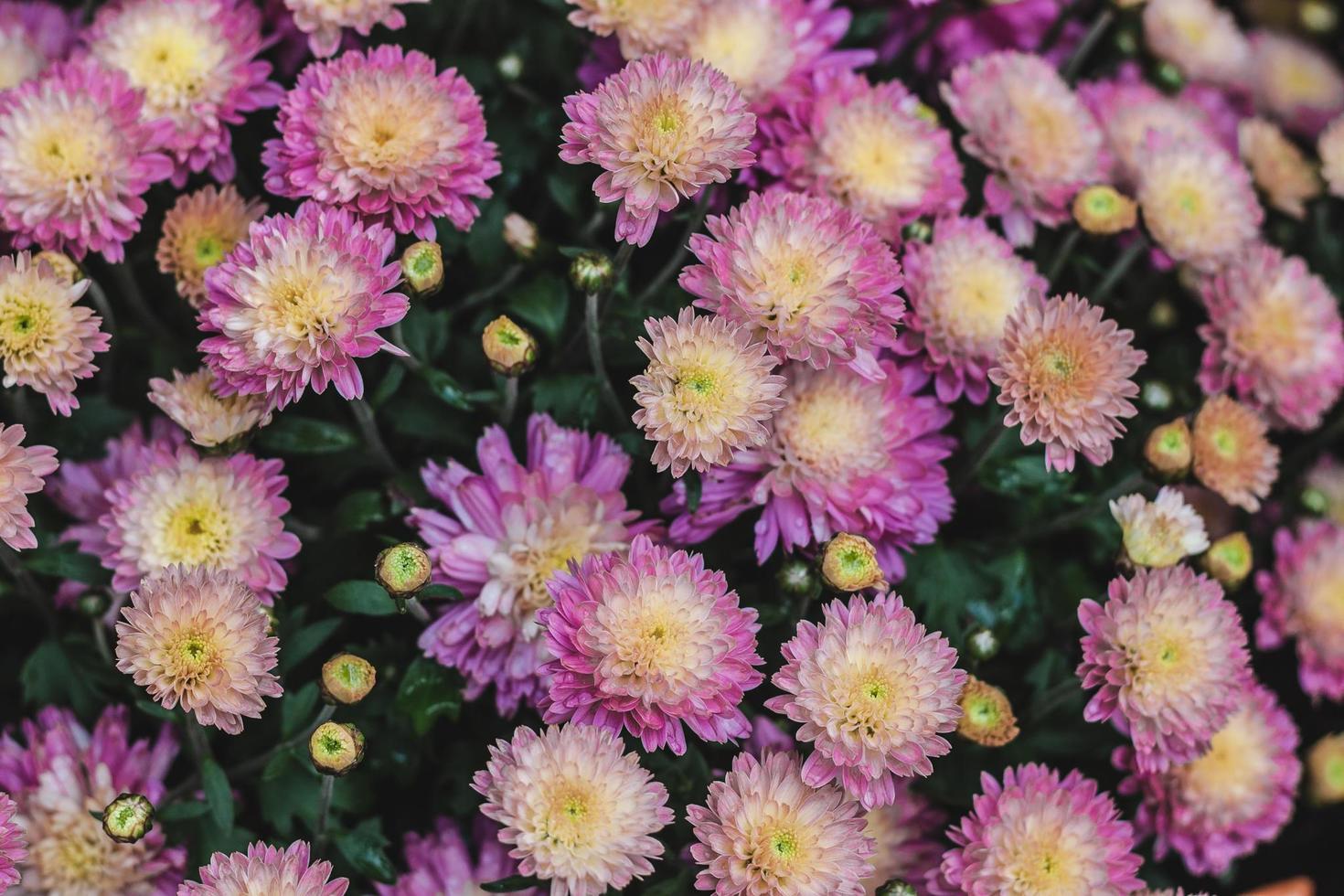rosa Dahlienbusch foto