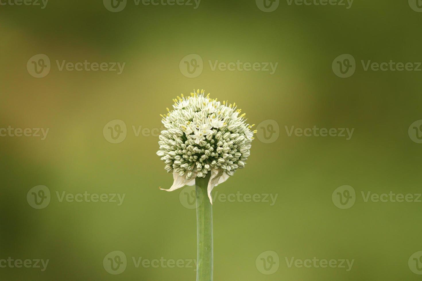 Zwiebel Blumeonion Blume foto