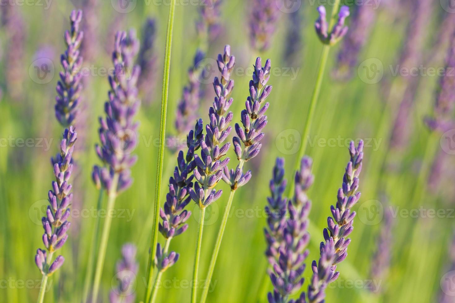 Lavendel im Sonnenlicht foto