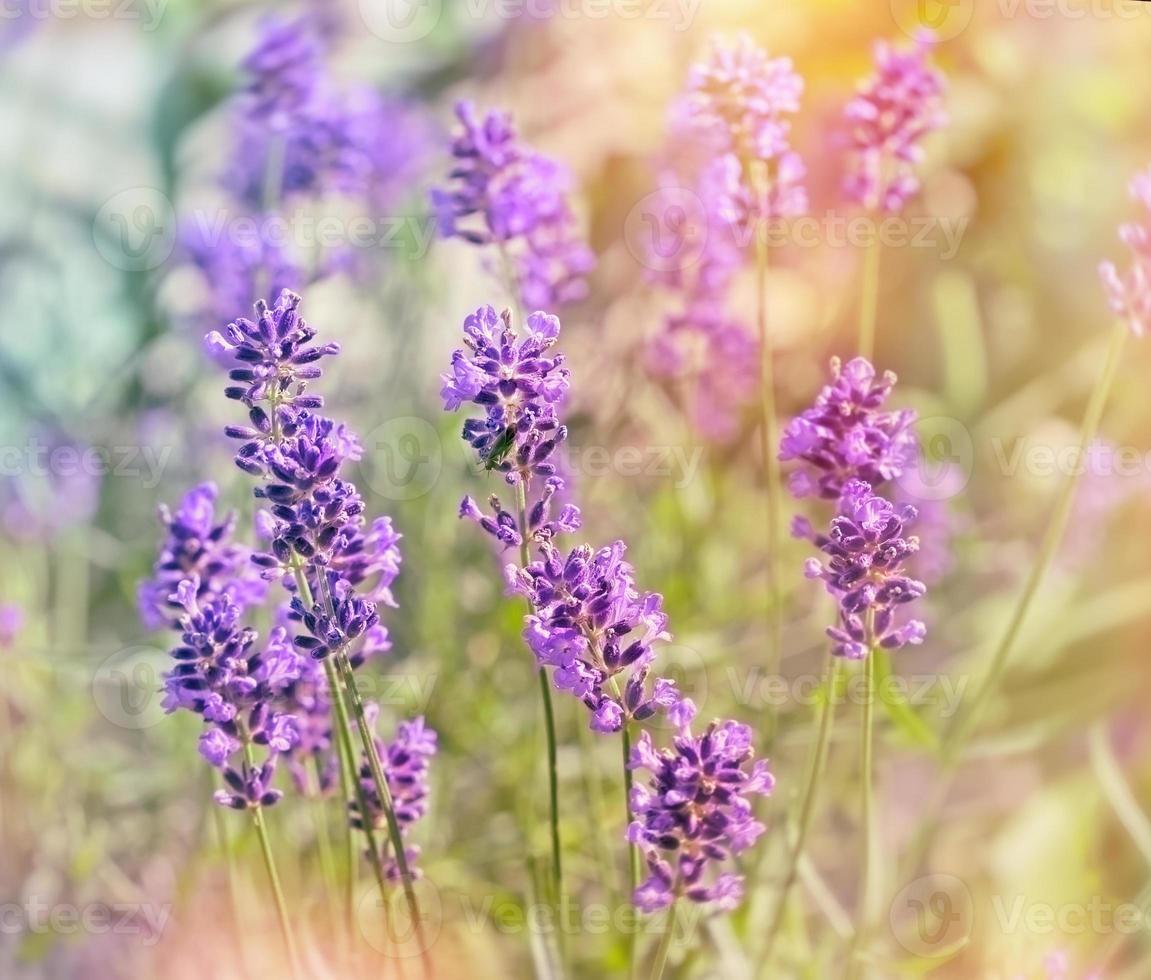 schöne Lavendelblüten foto