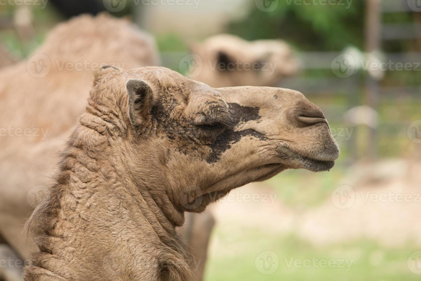 Porträts eines braunen afrikanischen Kamels foto