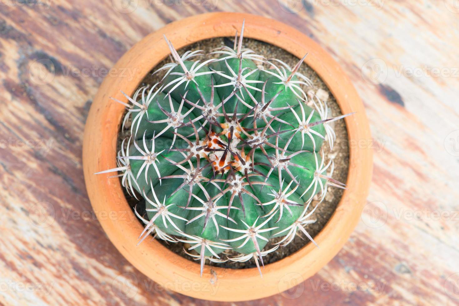 Kaktus im Blumentopf foto