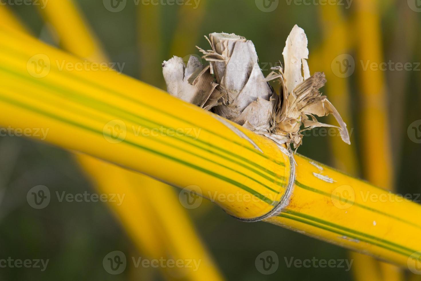 gelbes Schilf in einem Bambuswald foto