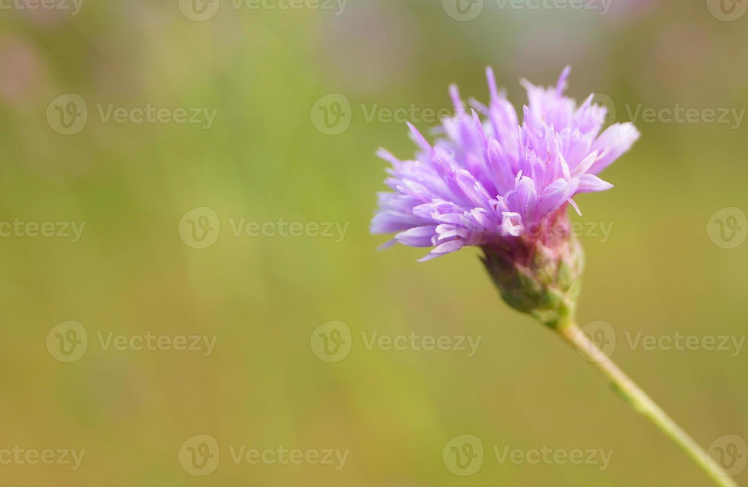 wilde Blume - camcheya tenuifolia kerr foto