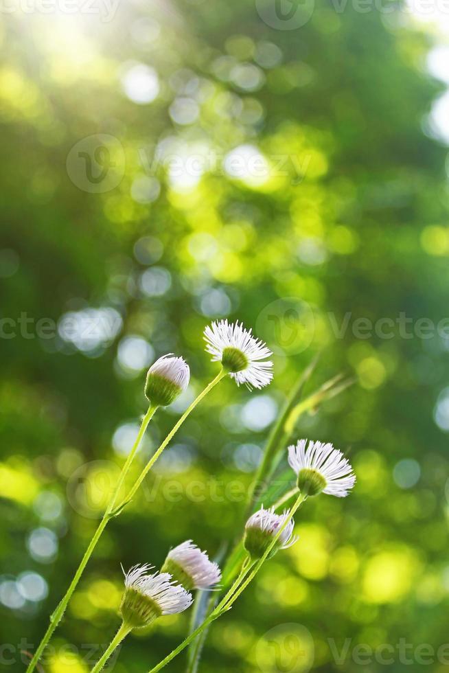 Wildblume foto
