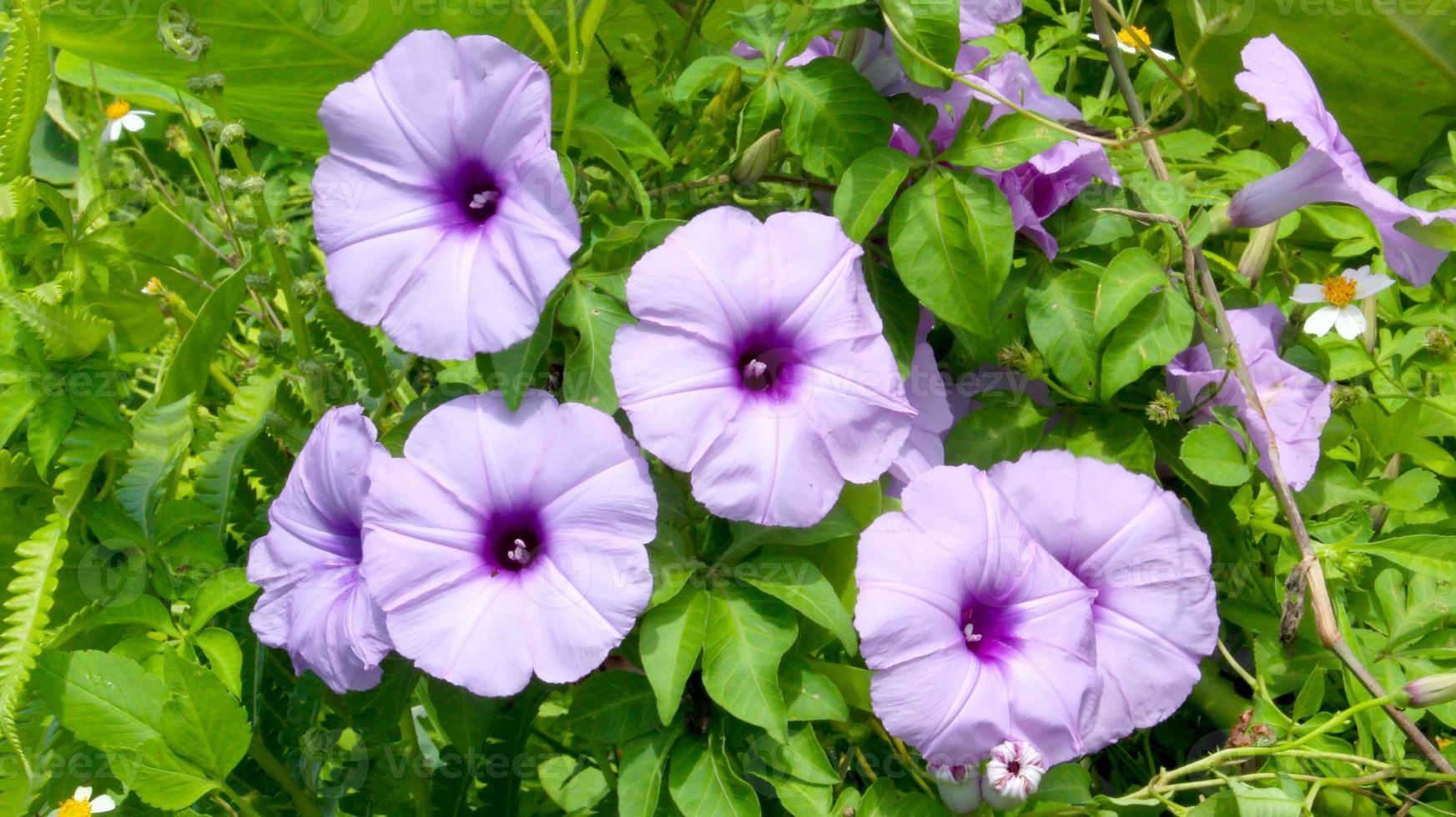Convolvulus Blüten foto
