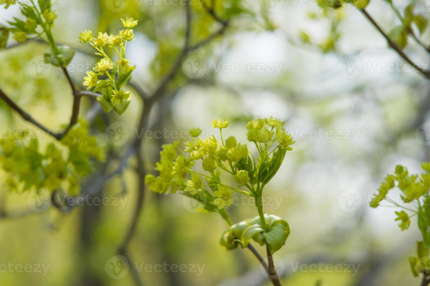 offene Blüten aus Ahorn foto