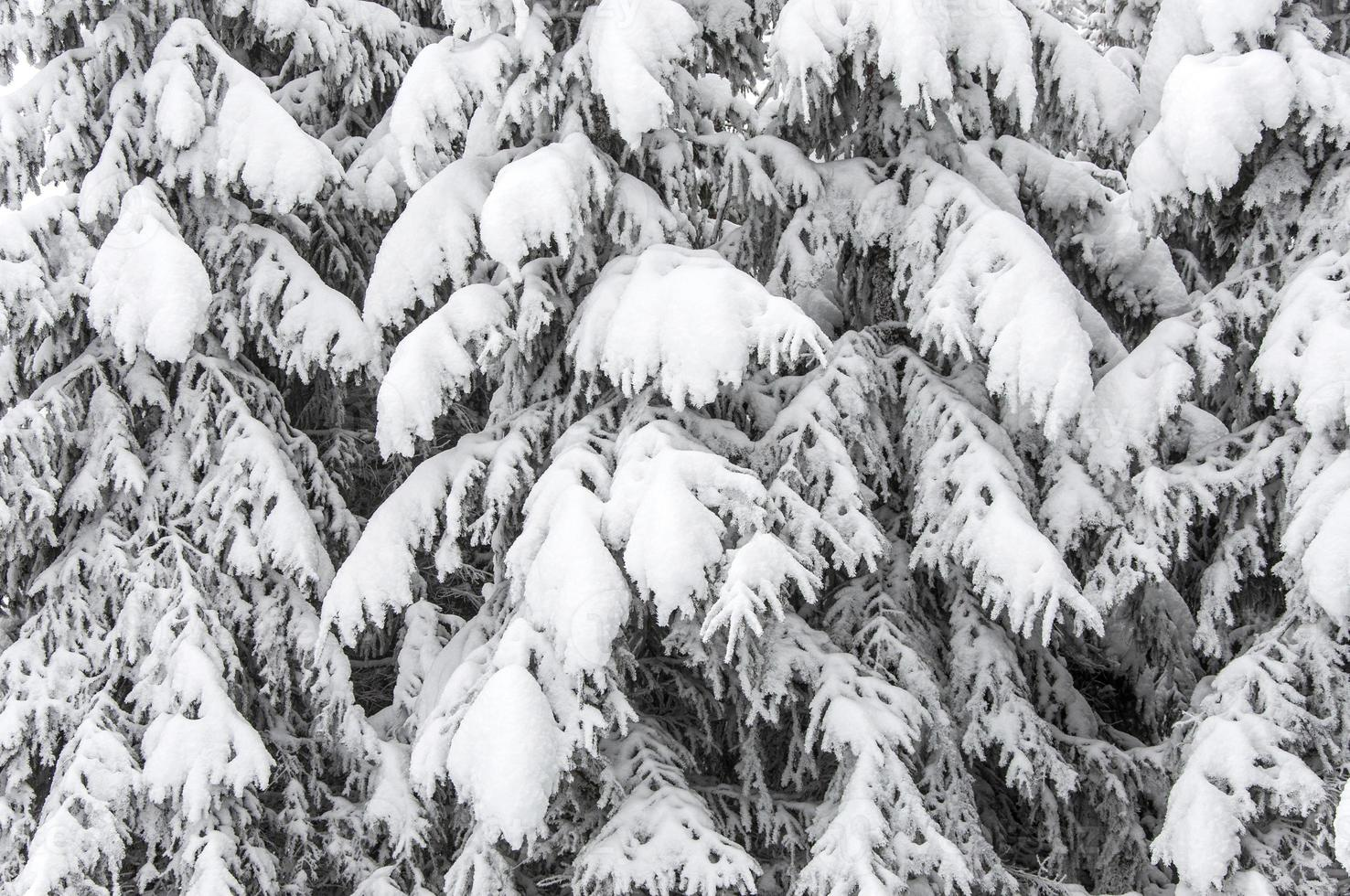 Hintergrund mit schneebedeckten Tannen foto