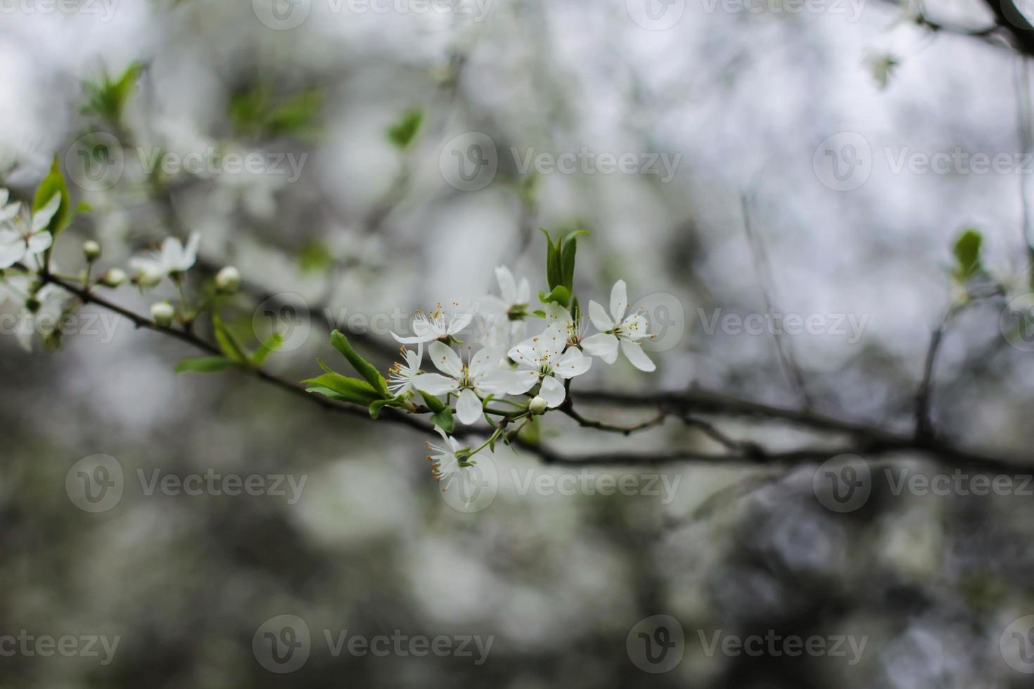 jammern Kirschzweigblüte foto