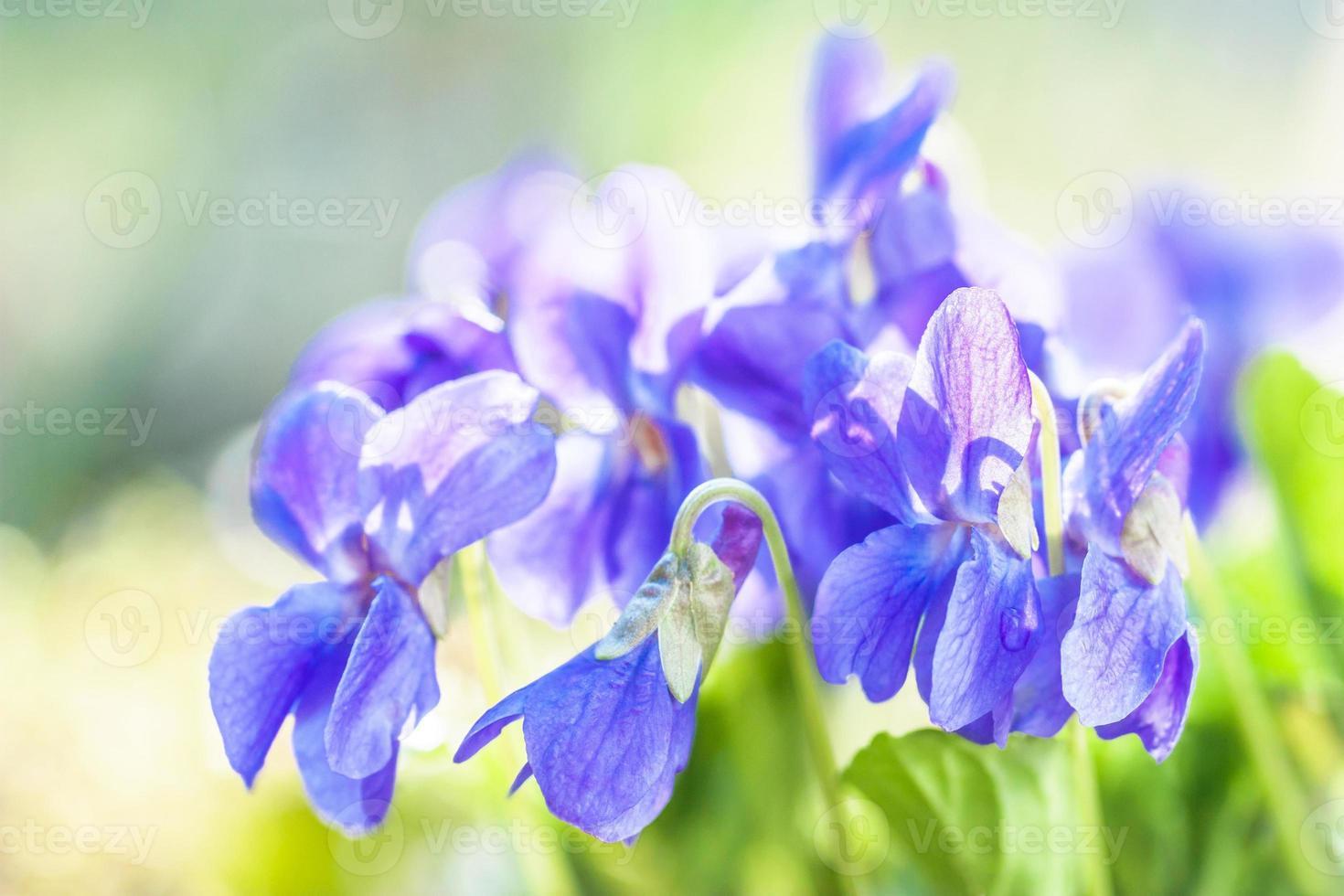 violetter Duft foto