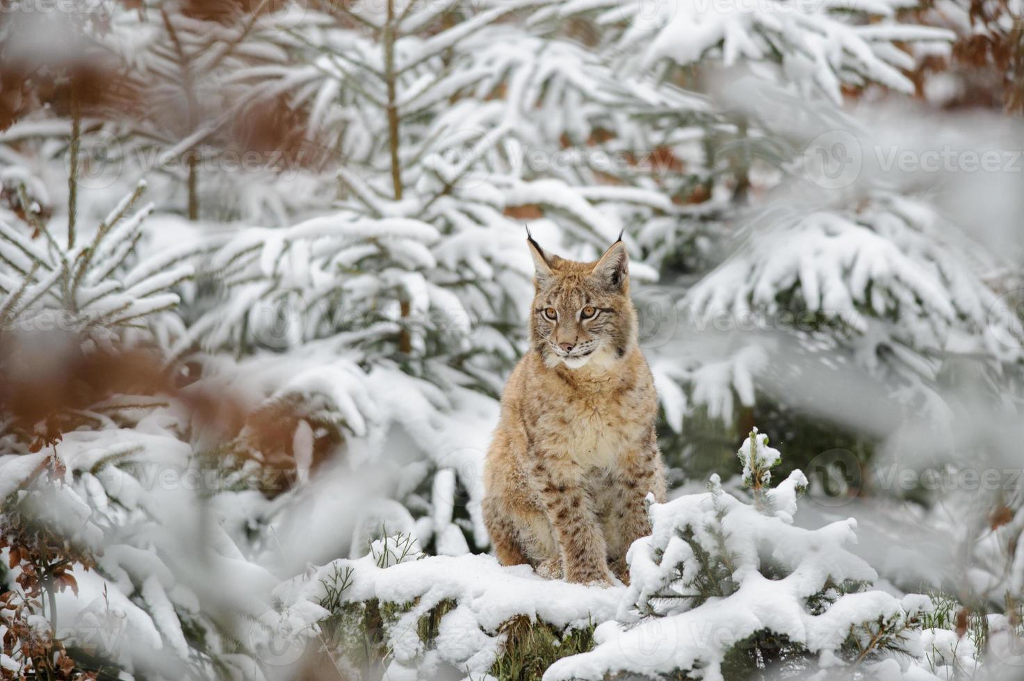 Eurasisches Luchsjunges, das im Winter bunten Wald mit Schnee steht foto