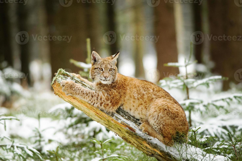 Eurasisches Luchsjunges, das auf Baumstamm im Winterwald liegt foto