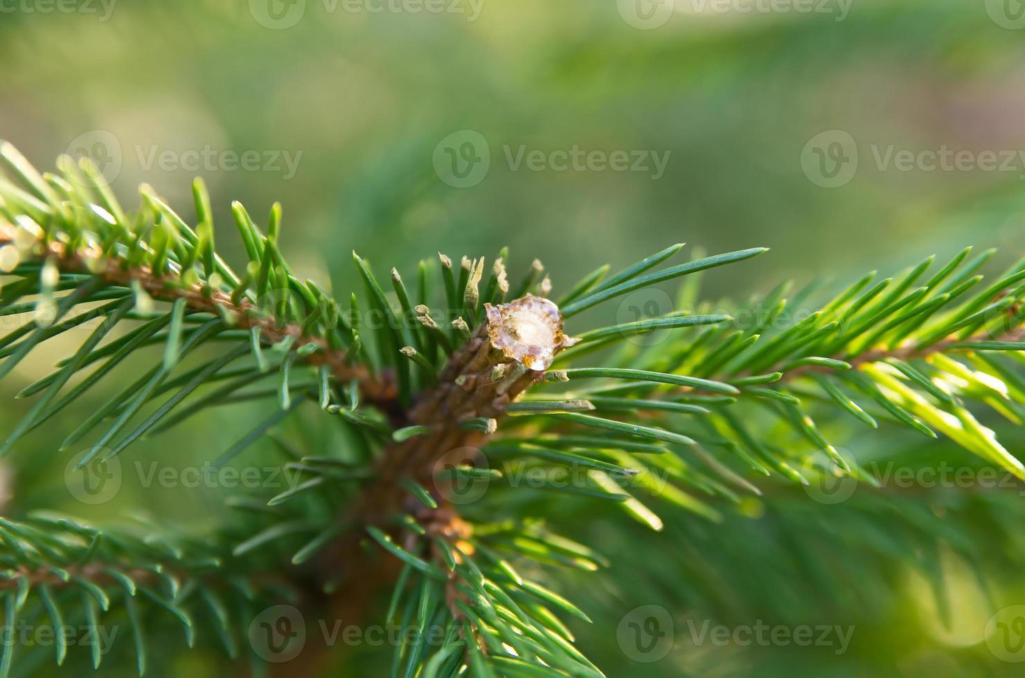 Pech auf Tannenbaum foto