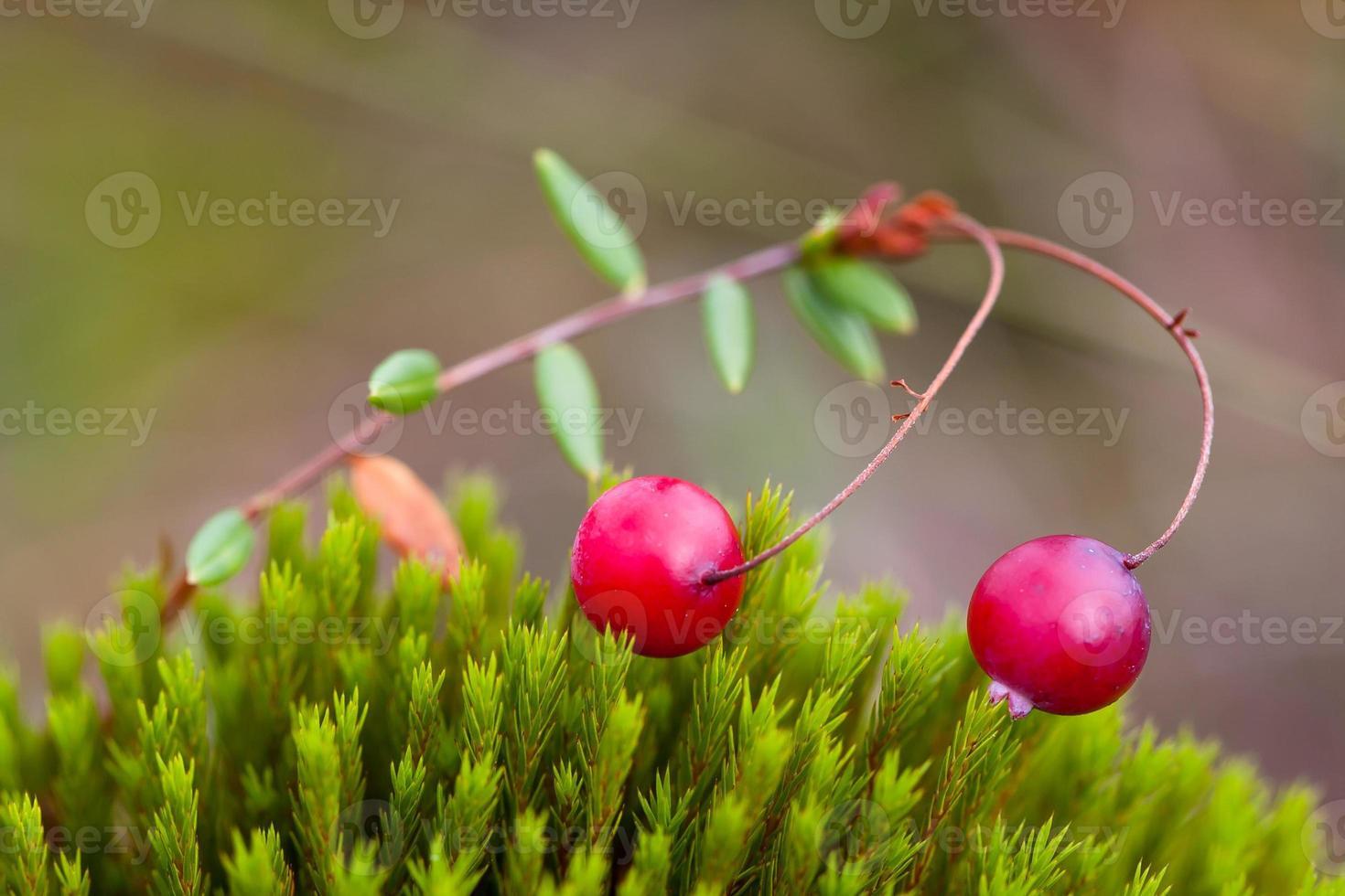 Beeren-Preiselbeeren und Moos foto