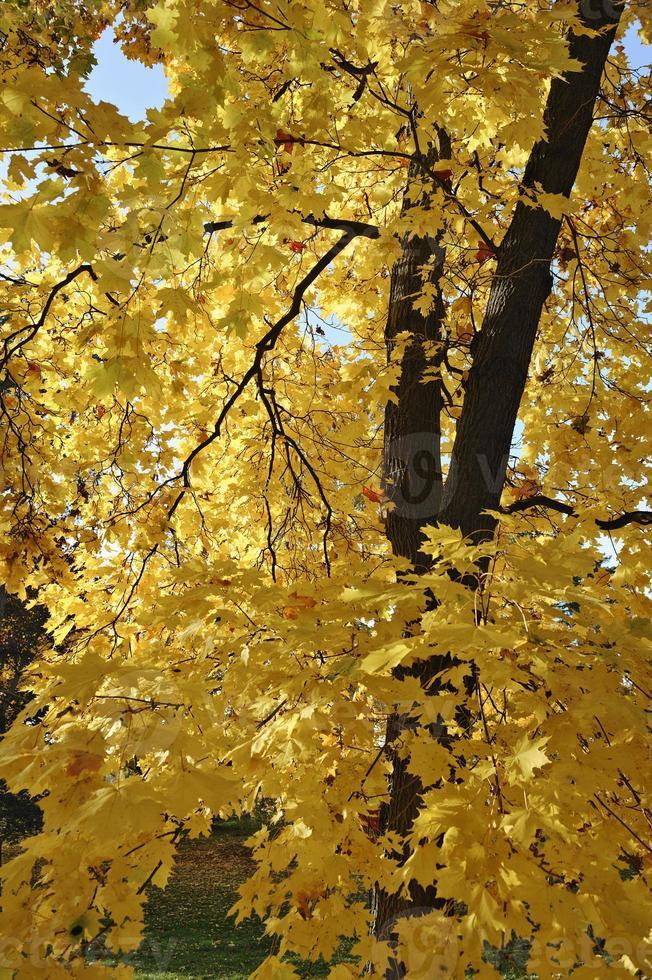 Ahornbaumblätter im Herbst foto