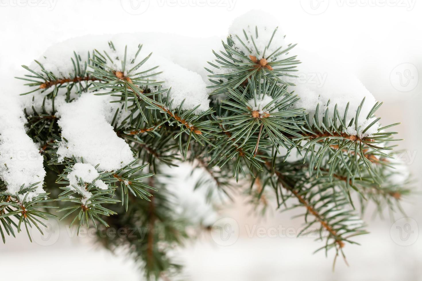 schneebedeckter Fichtenzweig. foto
