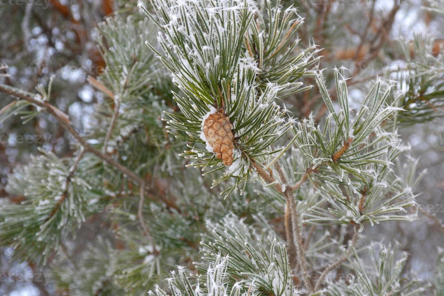Zweige von Kiefern-Raureif bedeckt foto