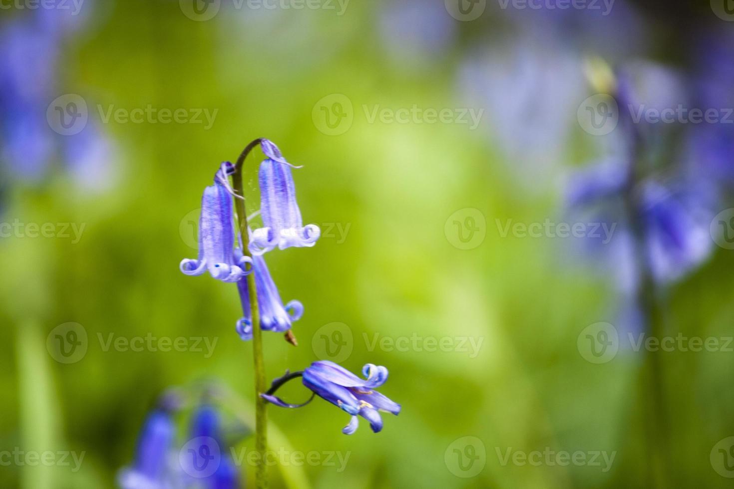 Nahaufnahme von Glockenblumen foto