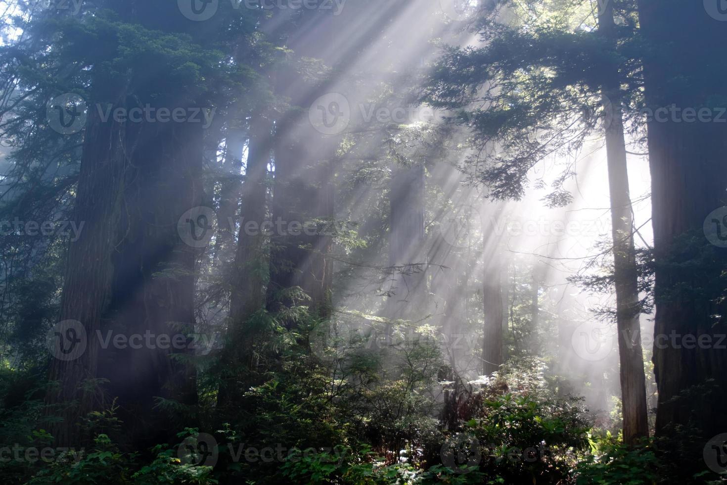 Sonnenstrahlen durch Redwood-Bäume foto
