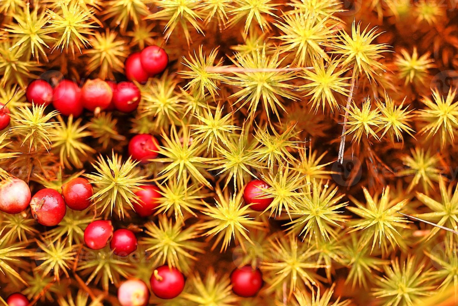 Preiselbeeren rote Beeren Hintergrundnatur foto