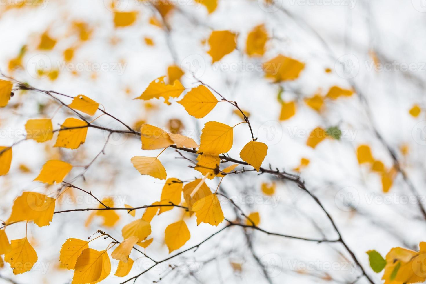 Herbst Birke Brach foto