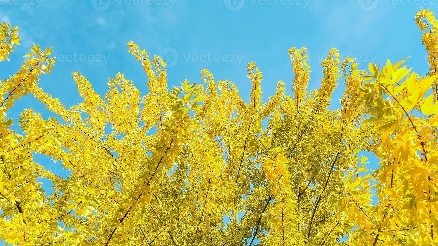 gelbe Blätter des Baumes foto