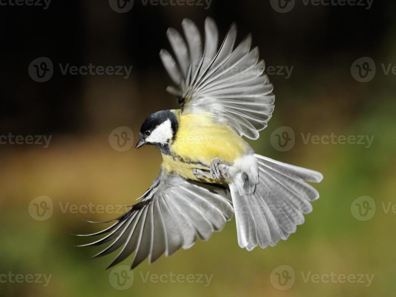 Kohlmeise im Flug mit weit geöffneten Flügeln foto