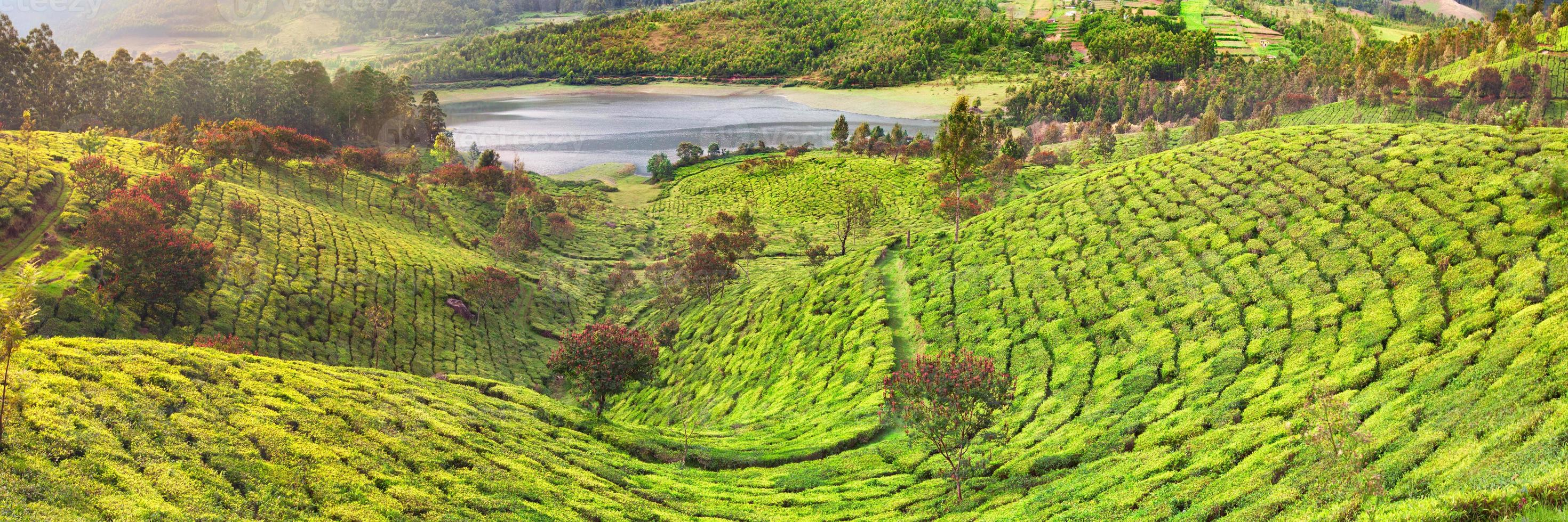Teeplantage in Munnar, Indien foto