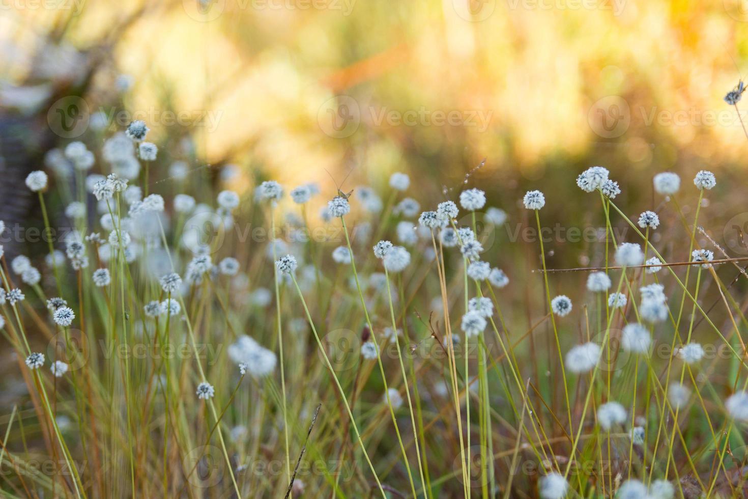 kradumngen (eriocaulon henryanum) Blume foto
