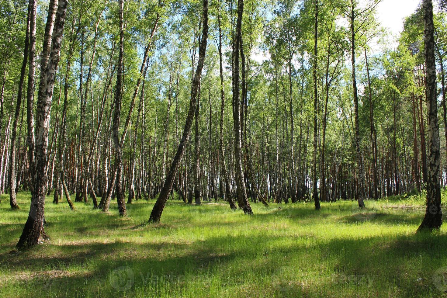 Birkenholz im Frühjahr foto