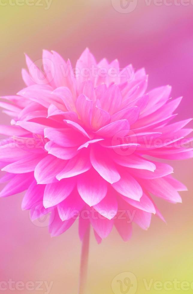 ssweet rosa Hintergründe färben Naturblumen foto
