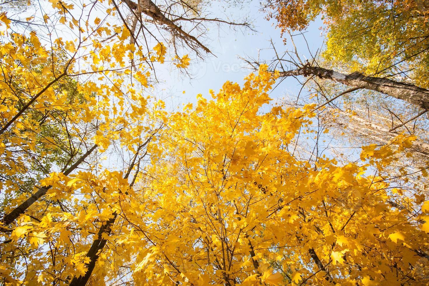 Herbstahorn gegen den blauen Himmel foto