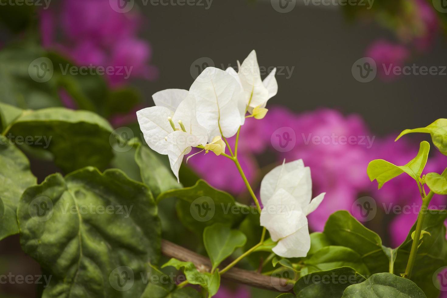 fokussierte weiße Bougainvillea-Blüten mit unscharfem Hintergrund und auffälligen Farben foto