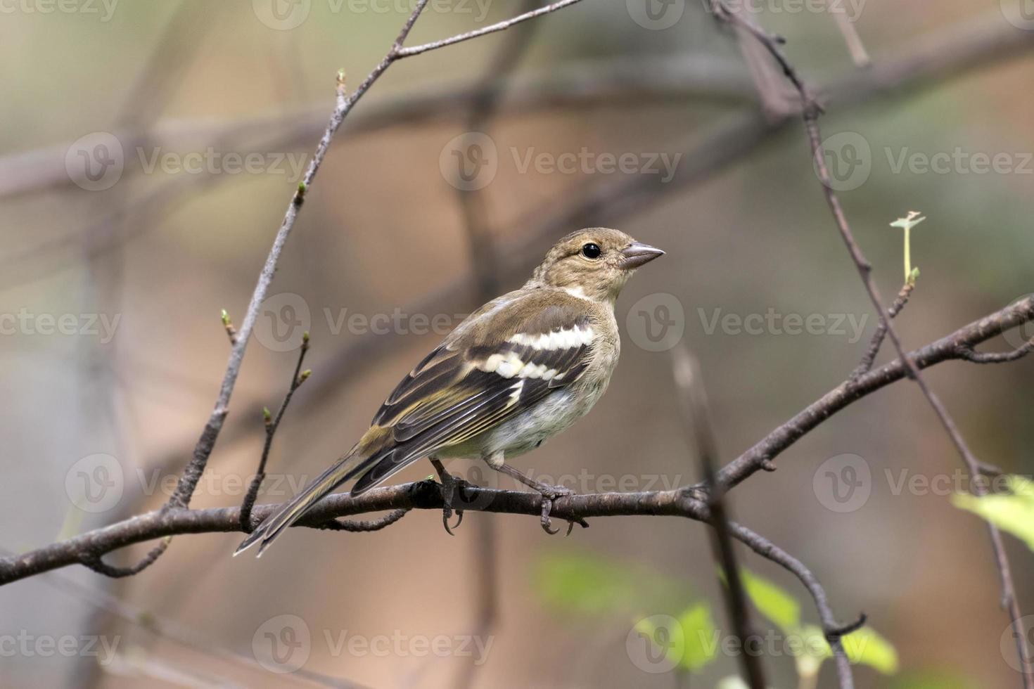 Buchfink auf einem Baumstamm foto