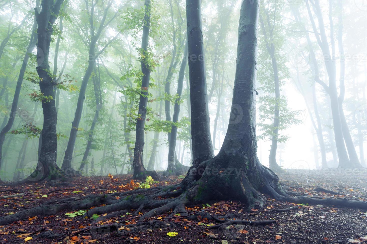 Wurzeln des Lebens in den Nebel foto