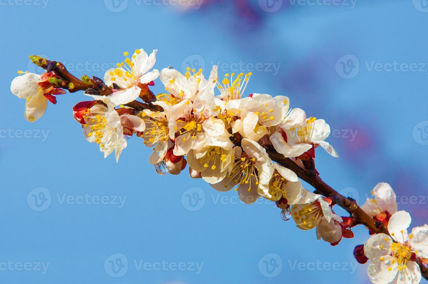 Frühlingsbäume in voller Blüte foto