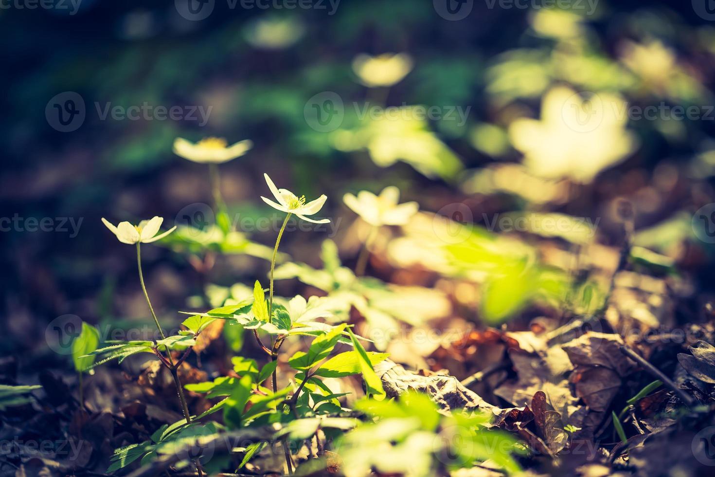 Weinlesefoto der weißen Anemonenblumen foto
