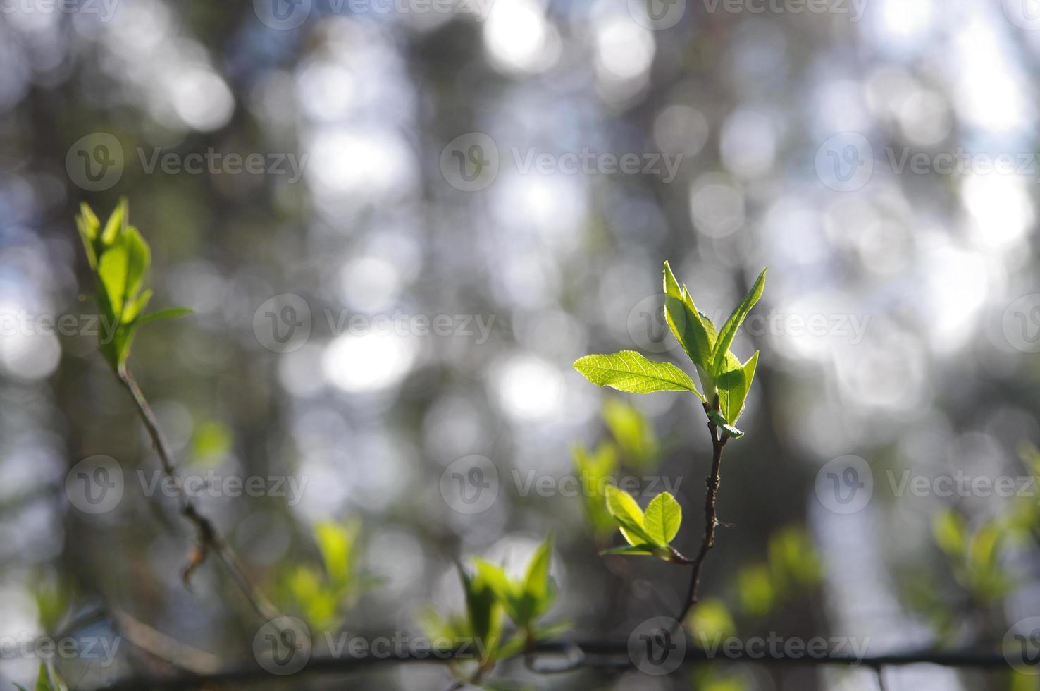 Zweig mit neuen Blättern im Frühjahr foto