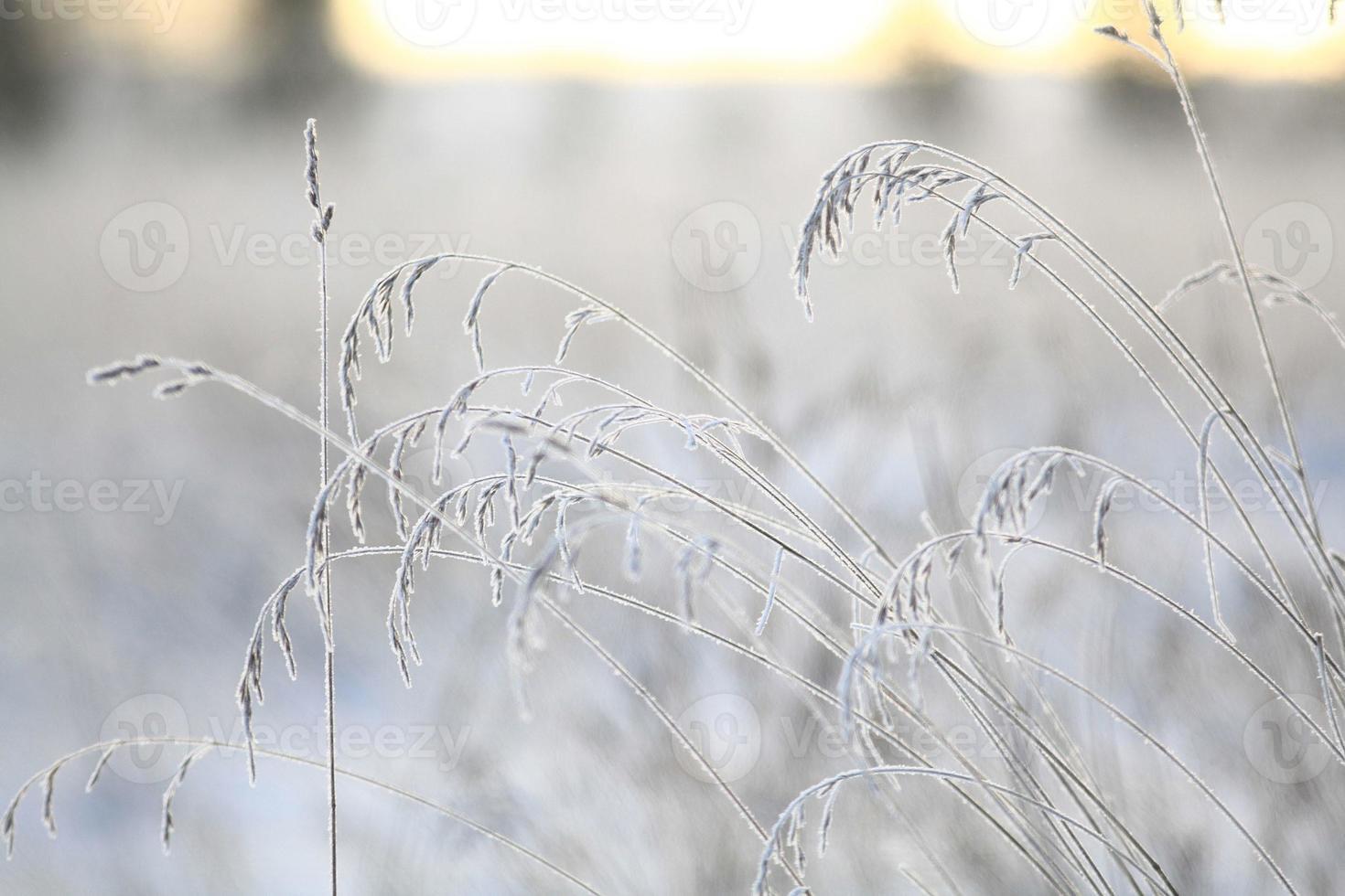 Winterzweige und Gras mit Frost und Schnee bedeckt foto