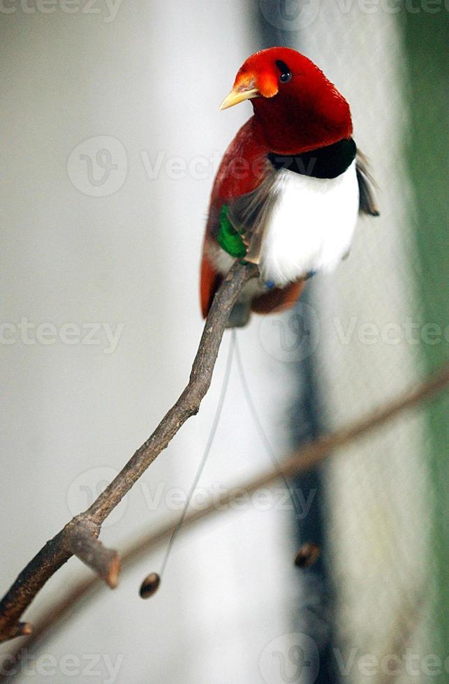 Papua zeigt Vogel foto