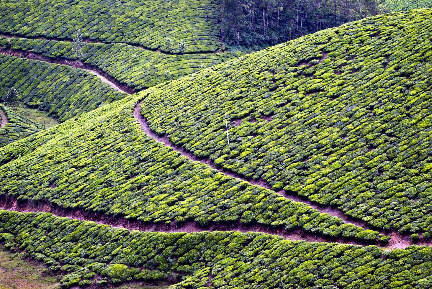 Teeplantage, Teeernte foto