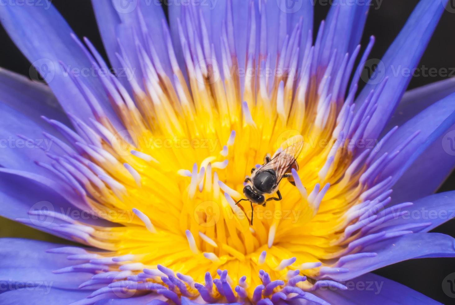 Biene auf schöner Lotusblume. foto