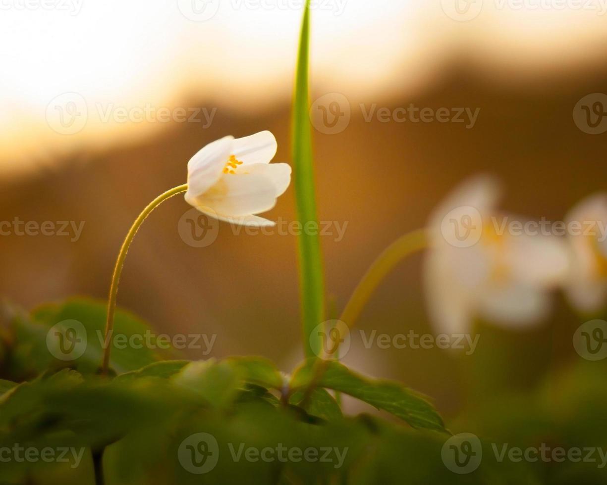 Anemone Nemorosa - einzelne weiße Blume foto