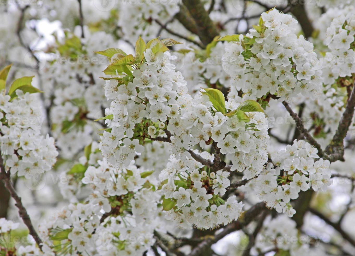 Zweige mit Kirschblüten foto