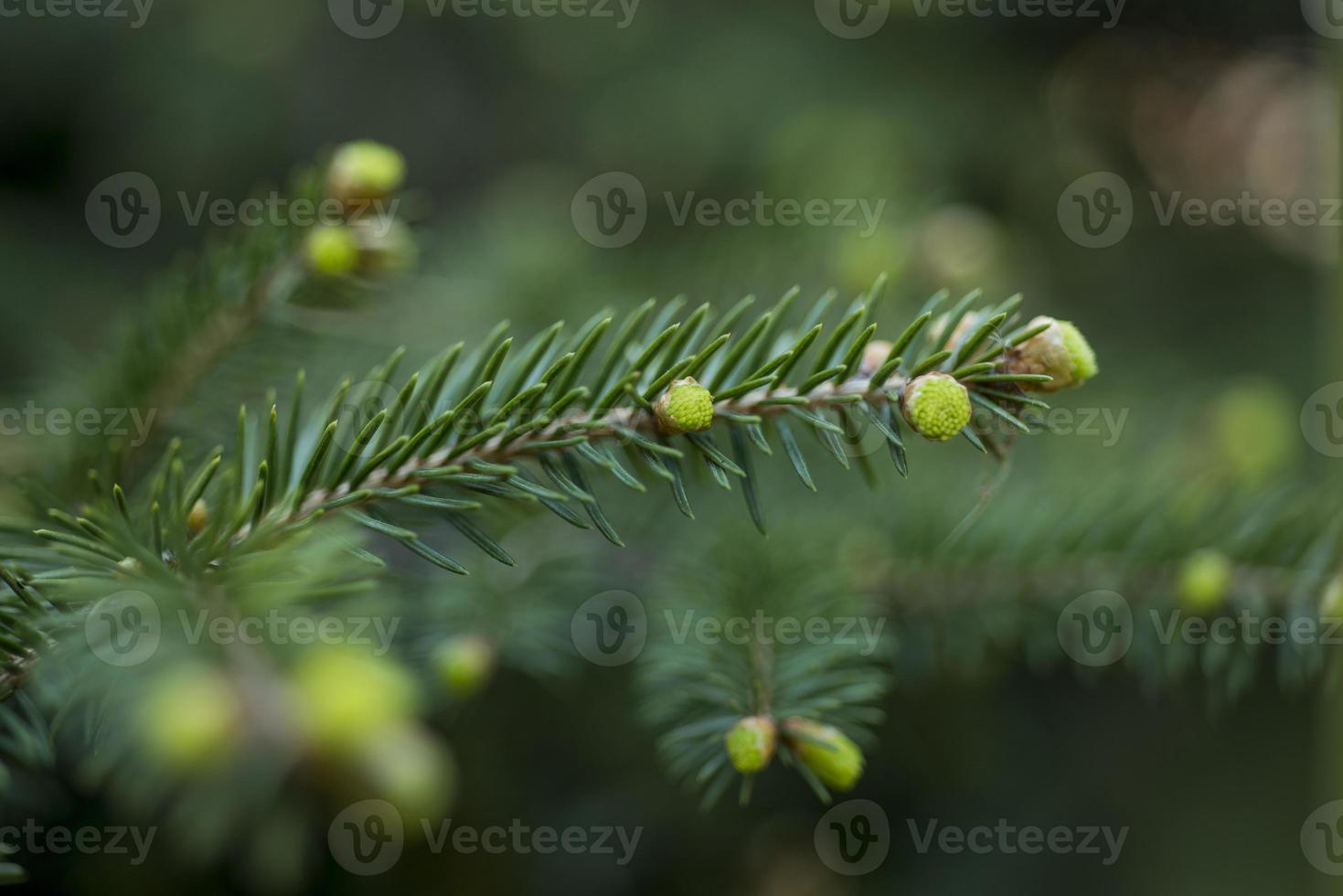 Fichtenkiefernzweig mit jungen grünen Zapfen; Nahansicht foto