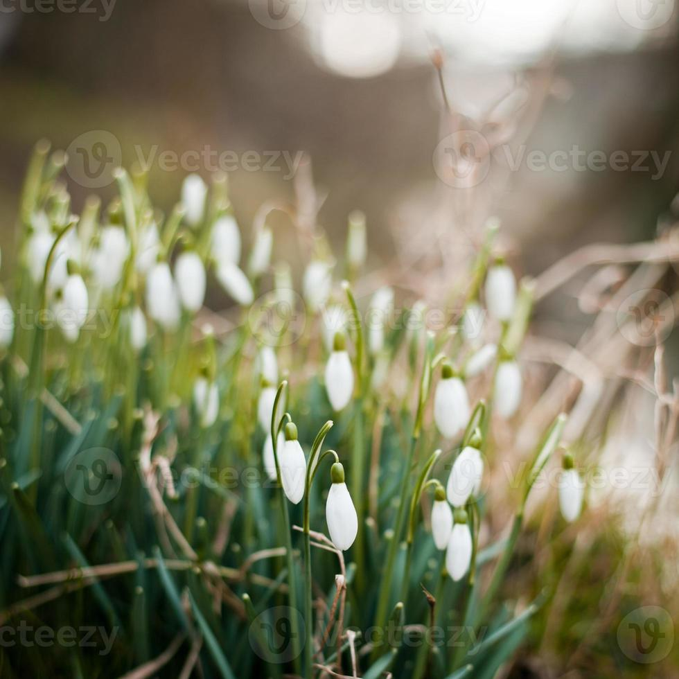 Schneeglöckchen foto