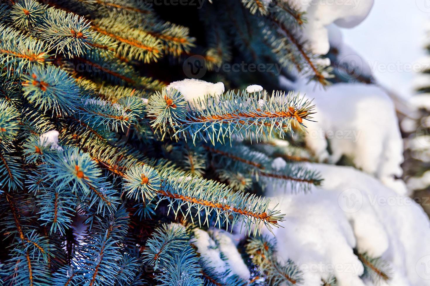 Pfoten Blaufichte (lat. picea pungens) im Schnee foto