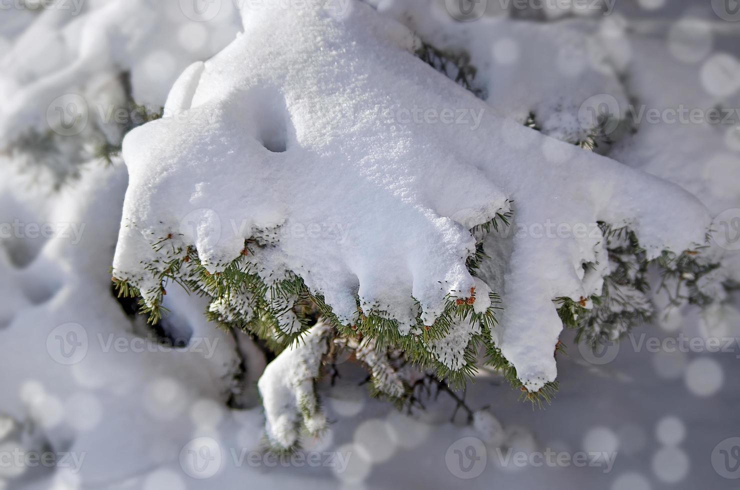 gefrorene Nadelzweige mit Winterschnee bedeckt foto