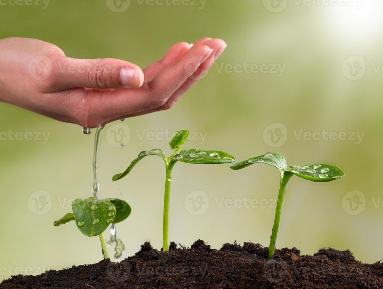Frauenhand, die junge Pflanzen wässert foto