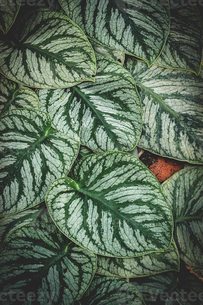 grüner Satin Pothos Baum foto